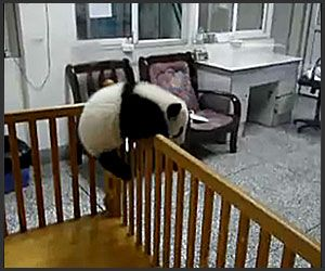 A baby panda jailbreaking. Just because.