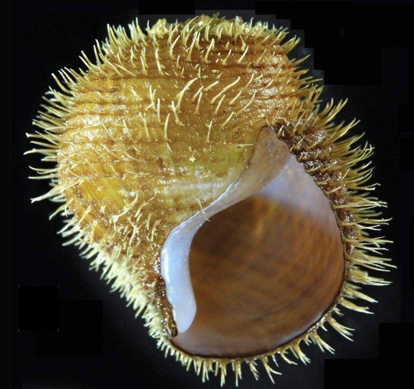 Rock the snail shell. Photo: Shannon Johnson/Monterey Bay Aquarium Research Institute
