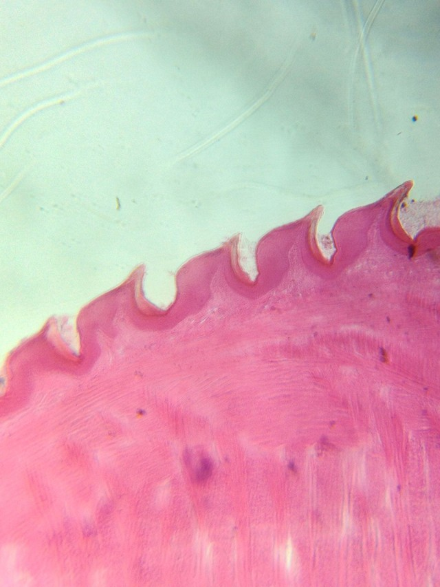 Cat tongue at high magnification. Photo: