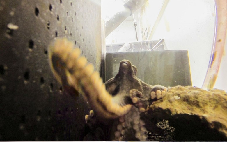 An octopus reacts to a GoPro camera put in its tank by turning it around before trying to eat it. Photo: Benjamin Savard/Middlebury College