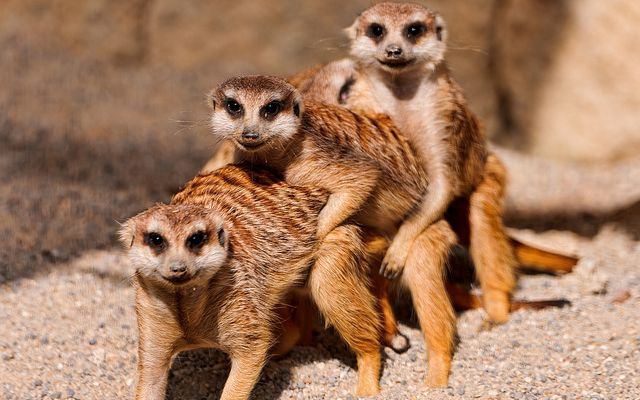 OMG check out these cute meerkat Photo: Tambako The Jaguar (Flickr)