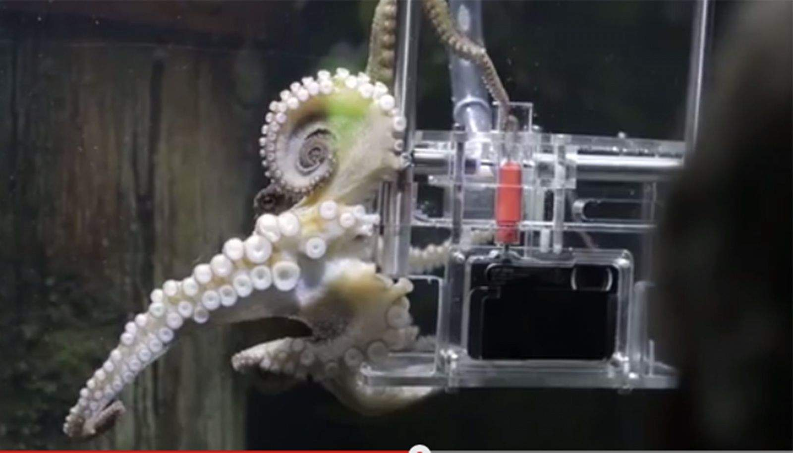 Rambo is an octopus that has been trained to photograph her visitors at an aquarium in New Zealand. Photo: Sony/YouTube