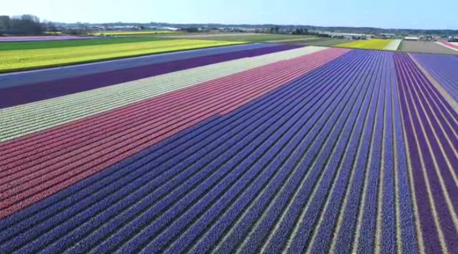 Fields of flowers in the Netherlands as seen from a drone.