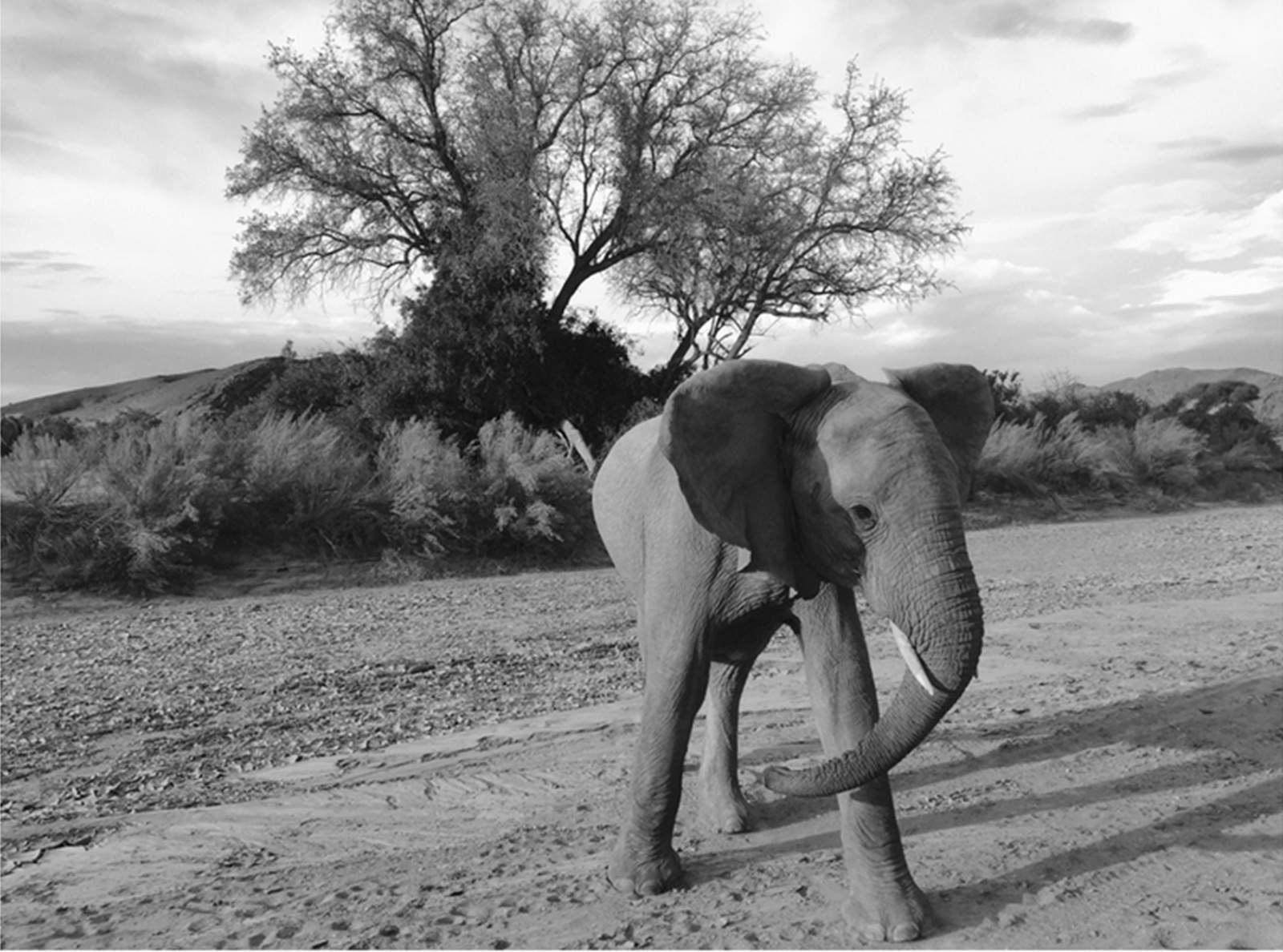 Jen Pollack Bianco captured this juvenile elephant charging her safari vehicle on the iPhone 6.