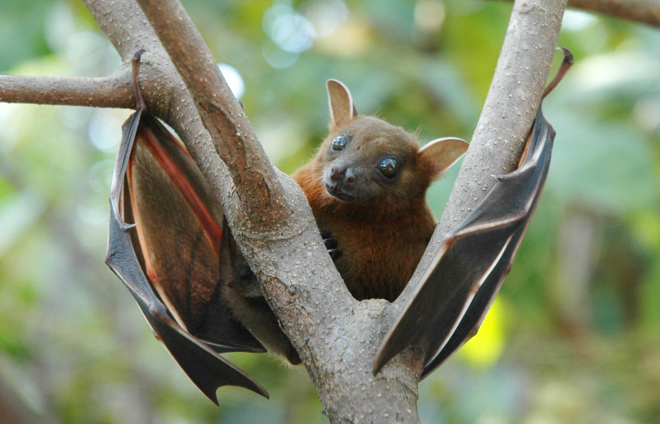 Not an Irish bat, but cute anyway.