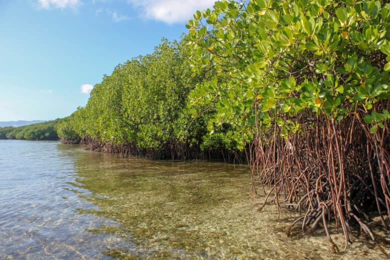 Apple invests in mangrove forests like this one. They could be key to fighting climate change.