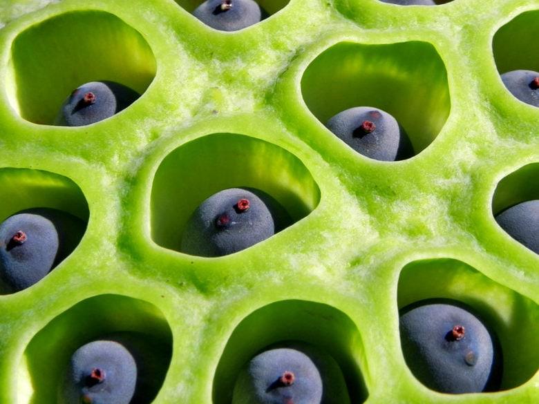 Lotus seed holes